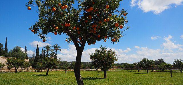 Kweek je eigen fruit met een citroenplant
